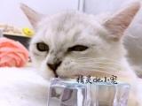 【自家繁育】金吉拉小宠猫,寻长期饭票