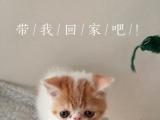 异国短毛猫 加菲猫