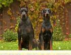 哪里出售杜宾犬 纯种杜宾多少钱