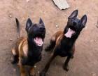 出售马犬价格便宜 马犬价格