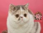 冠军后代 纯种加菲猫 带CFA绿纸证书 种母
