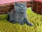 蓝英短毛猫一只