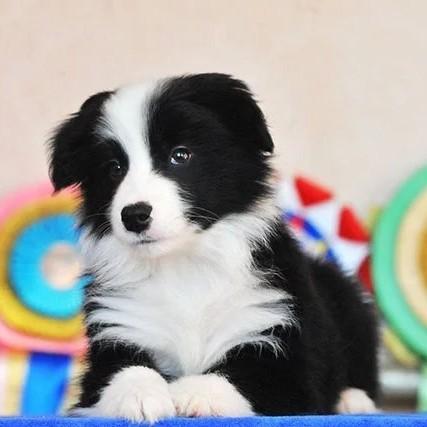 正规狗场 专业繁殖出售高智商边境牧羊犬 七白到位 纯种健康