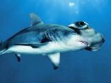 美国鲨鱼精哪里有来卖价格多少钱效果好不好