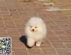 淄博犬舍长期出售-纯种博美 各类世界名犬 终身包纯种