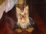 纯种金头银背约克夏幼犬超小体茶杯体 官方质保