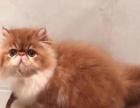 cfa加菲猫 短毛三花 母猫 妹妹