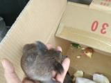 宠物超市长期出售松鼠