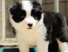 边境牧羊犬出售中 保纯保健康 免费饲养指导