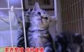 专业繁殖 自家家养 美短银虎斑猫 可送货上门挑选
