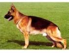 北京哪里有好的猎犬出售 专业比特杜高 罗威纳 签证包活
