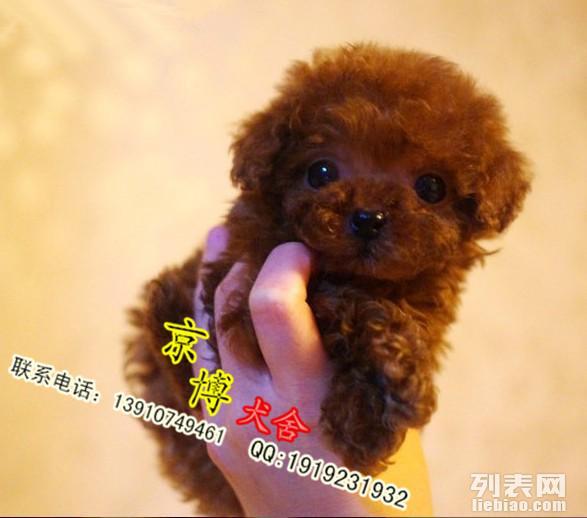 泰迪犬 泰迪犬价格 泰迪熊 茶杯泰迪 泰迪犬多少钱一只泰迪图片
