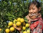 红橙果园采摘热线 现场采摘红橙,批发,直销