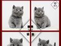 美短加白起司猫英短蓝猫银渐层美国短毛猫银虎斑