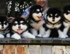 精品阿拉斯加雪橇犬 结实有力 气质高雅 保纯包健康
