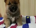 双血统带纸柴犬出售