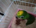出售人工繁殖亚马逊鹦鹉 灰鹦鹉 金刚鹦鹉 葵花鹦鹉 善学说话