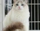 武汉哪里有双色布偶猫,血统纯正布偶猫