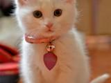 马鞍山出售各品种幼猫 成猫 出售