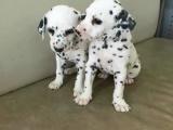 斑点狗钱 无锡里有卖斑点幼犬的