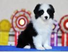 出售高品质赛级的较聪明狗狗边牧幼犬七白到位颜色齐全