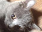 英短蓝猫宝宝寻新家