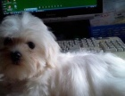 精品高品质萌宠超可爱马尔济斯幼犬 质保纯种健康出售