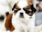 实体店出售纯种漂亮的西施犬/西施狗血统纯正疫苗