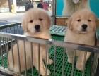 金毛 价可商谈 狗狗保证健康纯种 疫苗做好