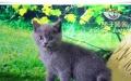 纯种蓝色英国短毛猫后代 健康保证质量出售中