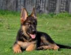 纯种德国牧羊犬幼犬 赛级黑背大骨架警犬德牧幼犬可上门挑选