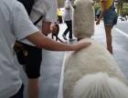 杭州富阳区承租驼羊-羊驼借租-草泥马出租-广告策划展示