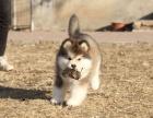 双血统带证书阿拉斯加幼犬出售 品相完美 售后保证
