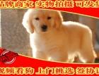纯种金毛幼犬多窝出售公母均有 签保障协议