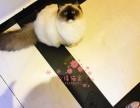 乌鲁木齐哪里的布偶猫较便宜多少钱一只 哪里有几百块钱布偶猫