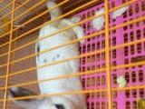 进口垂耳兔一公一母已经8个月大了 还有一只熊猫兔一起急转让
