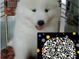 萨摩耶俱乐部 萨摩耶幼犬多少钱一只 萨摩耶图片