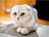 恩施加菲猫幼猫 网红加菲猫全国发货