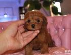 纯种泰迪幼犬出售 精品泰迪价格 京博犬舍