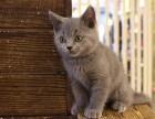 精品包子脸橘红眼蓝猫幼猫/英国短毛猫/蓝猫
