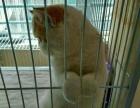 出售自家繁育精品加菲猫幼崽!
