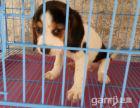 纯种民米比格猎犬幼犬出售自家养米格鲁猎犬小狗狗
