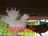 眼睛球 摩登娜 金鱼鸽 点子 彩背等观赏鸽出售