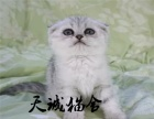 折耳幼猫,猫舍繁殖,健康纯种,品质保障