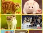 郑州市纯种红虎斑加菲猫找新家