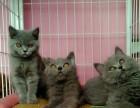 纯种大脸精致蓝猫出售 活泼可爱健康 求主淫