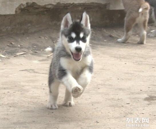 烟灰色小哈 三火蓝眼小哈 本地哈士奇幼犬出售