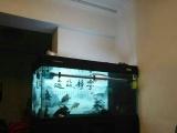 出售彩蝶150鱼缸,出售金龙鱼,出售印尼虎
