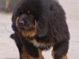 岳阳哪有藏獒犬卖 岳阳藏獒犬价格 岳阳藏獒犬多少钱