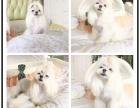 温文儒雅可爱的 马尔济斯犬 ,属小型玩赏伴侣犬
